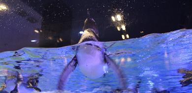 【すみだ水族館】ペンギン好き必見!名前、赤ちゃんに会える時期、ペンギンカフェを紹介!