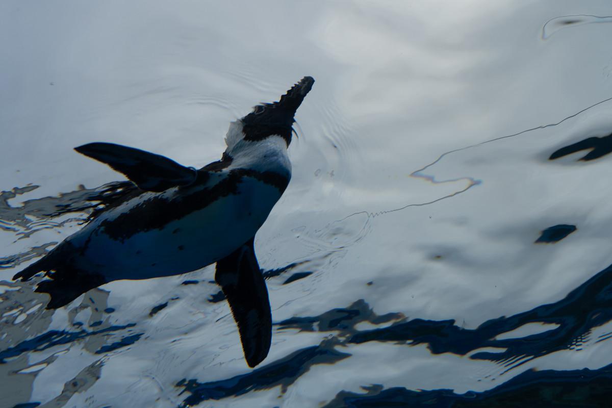 サンシャイン水族館ならではの天空のペンギン