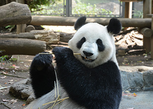 上野動物園のシンシン
