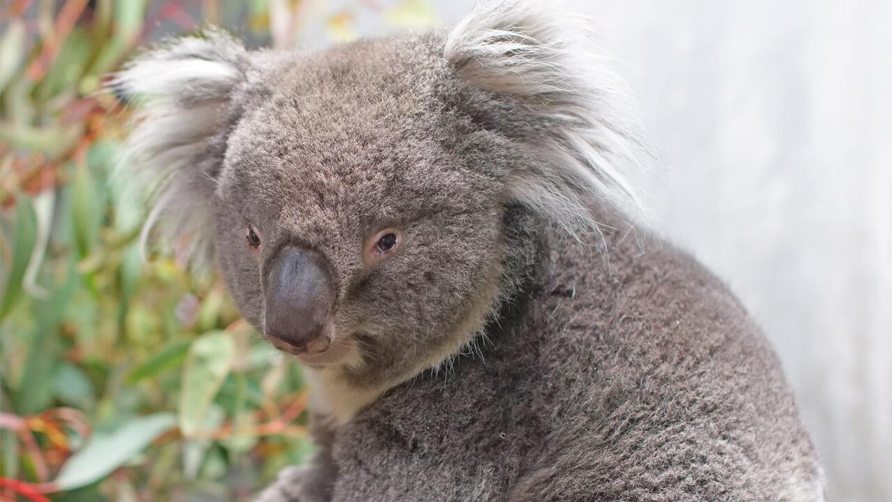 天王寺動物園:【おすすめ②】コアラ他、多くの動物に会える